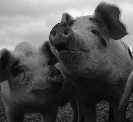 pigs_3sfw